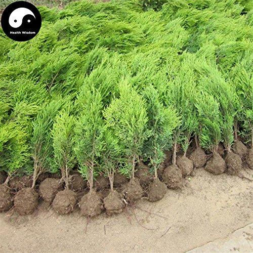 Kaufen Sabina chinensis Baumsamen 240pcs Pflanze Lebensbaum Für chinesischen Sa Jin Bai