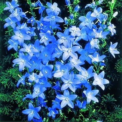 Pyramidenglockenblume ( Campanula pyramidalis LAVENDER BLUE ) von Lichtnelke Pflanzenversand bei Du und dein Garten
