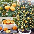 Kumquat Kleine Orange 30 Samen - Orange Bonsai Zierpflanze Essbare Früchte Mini-Bonsai-Baum Balkon von Wekold - Du und dein Garten