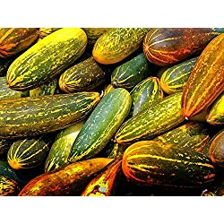 Hybrid Cuccumber Seeds Bulk Pack - Kanivellari Indian Yellow Cucumber - Vegetable Seeds For Terrace Garden : Kitchen Garden Pack by Creative Farmer