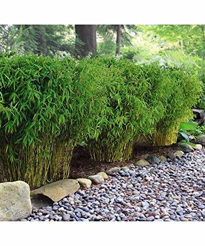 15 Bambous de haie