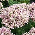 lichtnelke - Pracht-Fetthenne (Sedum telephium) Crystal Pink von Lichtnelke Pflanzenversand - Du und dein Garten