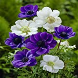 25 BLUE & WHITE ANEMONE FLOWER BULBS