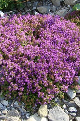Purple Flowering Thyme in a Rock Garden Herb Journal: 150 Page Lined Notebook/Diary