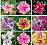 Auf Verkauf. 400pcs Hibiskus Samen 24Arten Chinesischer Roseneibisch Blumensamen Hibiskus Baum Samen für Blumen Topfpflanzen