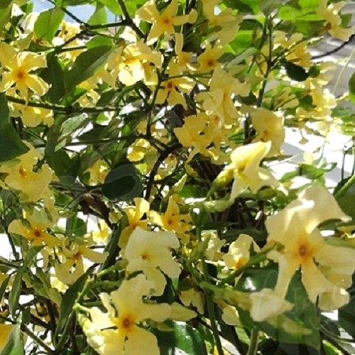 Gelsomino star of toscane stella di toscana pianta for Pianta da esterno sempreverde