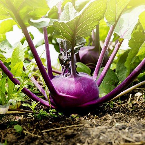 Violett Kohlrabi Alka Samen - adaptabilität gegenüber Oler convar. acephala-Geige