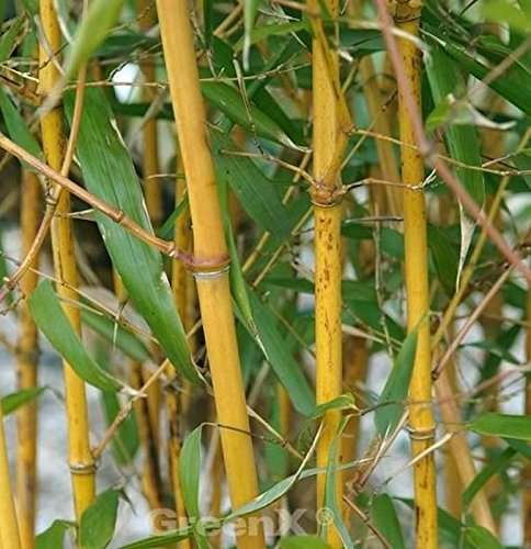 Goldener Peking Bambus 80-100cm - Phyllostachys aureocaulis (Bambus Golden)