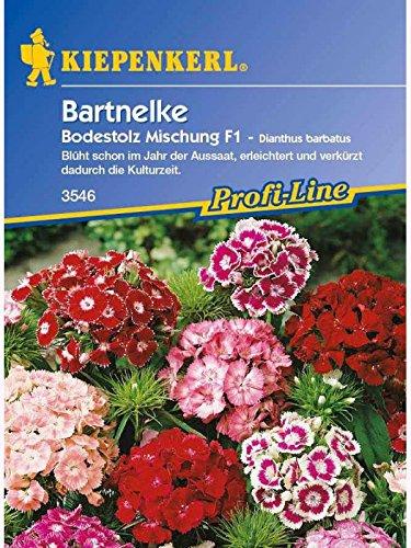 Kiepenkerl Dianthus barbatus Bodestolz Mischung