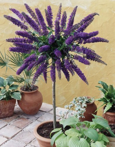 Dominik Blumen und Pflanzen, Sommerfliederstämmchen blau (Buddleia davidii) Empire Blue blau blühend, 1 Stämmchen