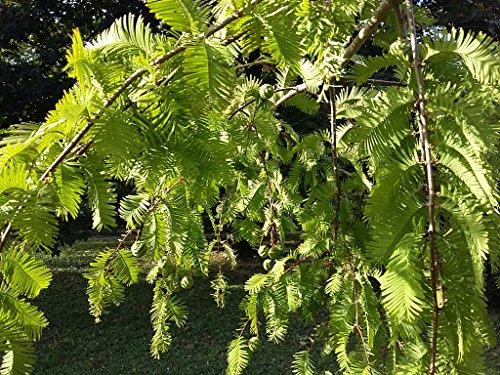 Galleria fotografica 2x Metasequoia alberi Metasequoia Glyptostroboides, 15–20cm/8CM, bronzo, fogliame, morbido, colori autunnali, esfoliante, cannella, corteccia