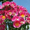 Maria Lisa Ramblerrose von Weber-Rosen bei Du und dein Garten