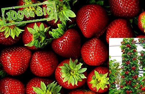 Schnell wachsende Kletter Erdbeere Fragaria 3 Frische Baumschul Pflanzen