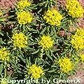 Zypressen Wolfsmilch - Euphorbia cyparissias von Baumschulen auf Du und dein Garten