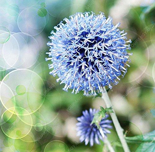 30pcs / sac géant oignon (Allium giganteum) graine rare bonsaï belle fleur plantes en pot de fleurs jardin jaune Livraison gratuite