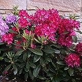 """Dominik Blumen und Pflanzen, Rhododendron-Hybride """"Nova Zembla"""", 1 Pflanze, 20 - 30 cm hoch, 2 Liter Container,  winterhart"""