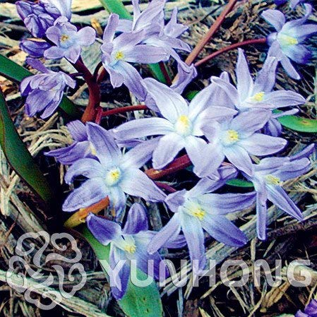 Bloom Green Co. 100PCS Blue Bell Blumen Bonsai Schöne Blume Mix Indica Pflanzen Garten Birnen Blumen Außentopf Bonsai Seltene Sorte: 5