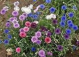 AGROBITS 1000 Semi: 500 Fiordaliso Alto Mix (Centaurea cyanus) Semi colorato Combsh M33