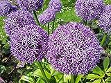 Blumenzwiebel Riesenlauch Lauch Zierlauch Lauchblume lila Allium Aflatunense (20 Stück)
