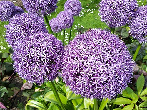 Blumenzwiebel Riesenlauch Lauch Zierlauch Lauchblume lila Allium Aflatunense (5 Stück)