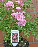 fairy rosen - Vergleich von