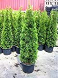 1 Pflanze Thuja occidentalis Smaragd Kräftiger Jung Baum im Container