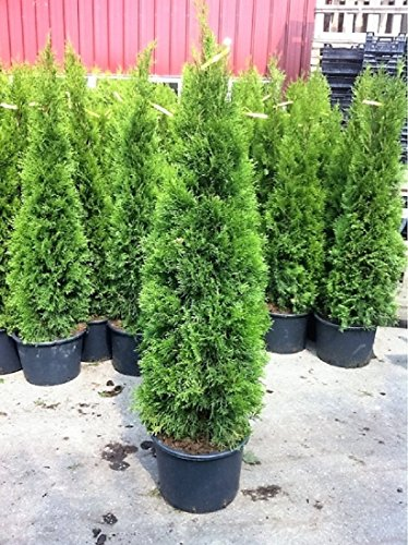 Zwei Pflanzen Thuja occidentalis Smaragd Kräftige Jung Bäume im Container Gesamthöhe 120-140 cm.