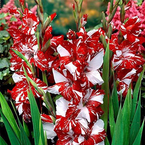 Qulista Samenhaus - 50pcs Selten Riesen Gladiolen Mischung Blumensamen mehrjährig winterhart für Beete