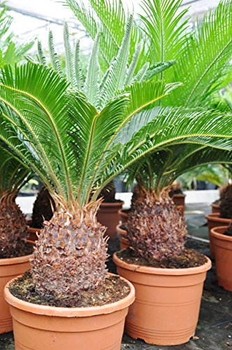 Palmenmann Palmfarn (Sago-Palme) - Cycas revoluta