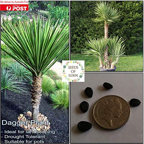 Portal Cool 10 Dagger Pflanzensamen (Yucca aloifolia); Dürre Tolerant Landschaftsbau Pflanze