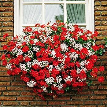Tomasa Samenhaus Garten Duftgeranien-Mix Geranien Samen Blumensamen Kr/äut Saatgut winterhart mehrj/ährig Anti Mosquito /& Fliegen f/ür Balkon