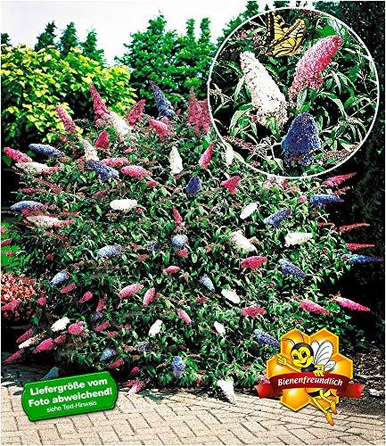 BALDUR-Garten Sommerflieder 'Papillion Tricolor' Buddleia Schmetterlingsflieder Tricolor Schmetterlingsstrauch Zierstrauch, 1 Pflanze Buddleja davidii