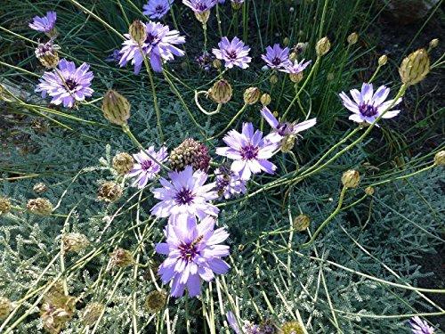 Rasselblume Catananche caerulea 100 Samen