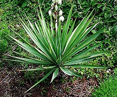 Yucca glauca - 10 Samen - extrem frosthart von tropical-seeds bei Du und dein Garten