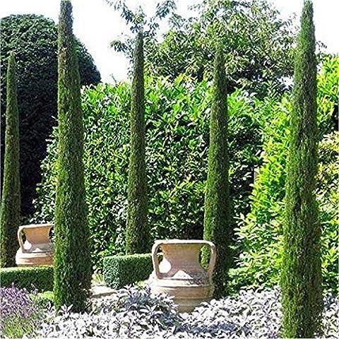 Pair of Van Gogh Tuscan Totem Pole Cypress Trees - Cupressus sempervirens 120-140cms
