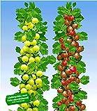 BALDUR-Garten Säulen-Stachelbeeren Kollektion, 2 Pflanzen Säulenobst Beerenobst Hinnonmäki rot und Hinnonmäki gelb