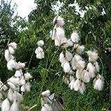 Breitblättriges Wollgras ( Eriophorum latifolium ) Tb9