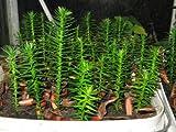 Monkey Puzzle Tree Araucaria Araucana 9-10cm tall 1 -2 years old
