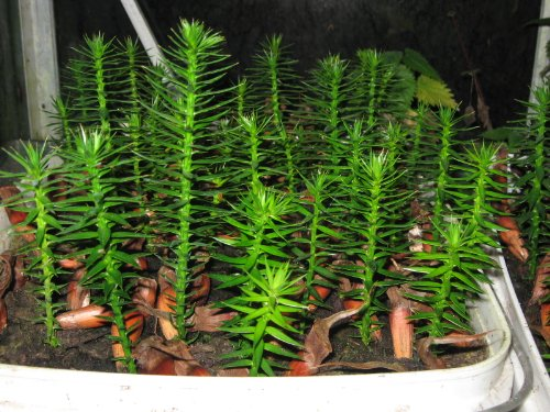 monkey-puzzle-tree-araucaria-araucana-9-10cm-tall-1-2-years-old
