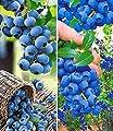 BALDUR-Garten Heidelbeer-Sortiment Trauben-Heidelbeere Reka® und Heidelbeere Hortblue®, 2 Pflanzen von Baldur-Garten bei Du und dein Garten