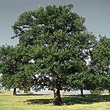 Plant World Seeds - Quercus Robur Seeds