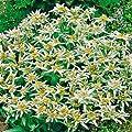 Alpenedelweiß von Garten Schlüter - Du und dein Garten
