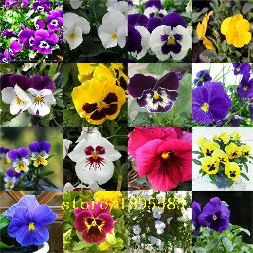 100 PCS / Pack, graines Fleurs graines pansy, alto graines cornutat, pot balcon patio petit angle Viola