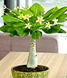 BALDUR-Garten Hawaii-Palme,1 Pflanze