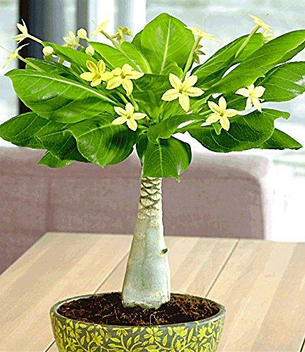 baldur-garten-hawaii-palme1-pflanze