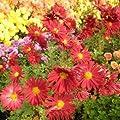 lichtnelke - Herbstchrysantheme (Dendranthema rubellum) Duchess of Edinburgh von Lichtnelke Pflanzenversand auf Du und dein Garten