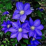 50 PCS semi blu Clematis Hybridas Hanging Fiori in vaso Balcone piante fiorite