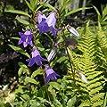 Pyramiden Glockenblume Lavender Blue - Campanula pyramidalis von Baumschulen - Du und dein Garten