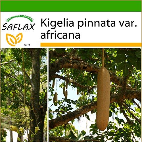 SAFLAX - Arbre à saucisses - 10 graines - Avec substrat - Kigelia pinnata var. africana