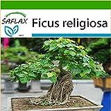 SAFLAX - Higuera sagrada - 100 semillas - Con sustrato - Ficus religiosa